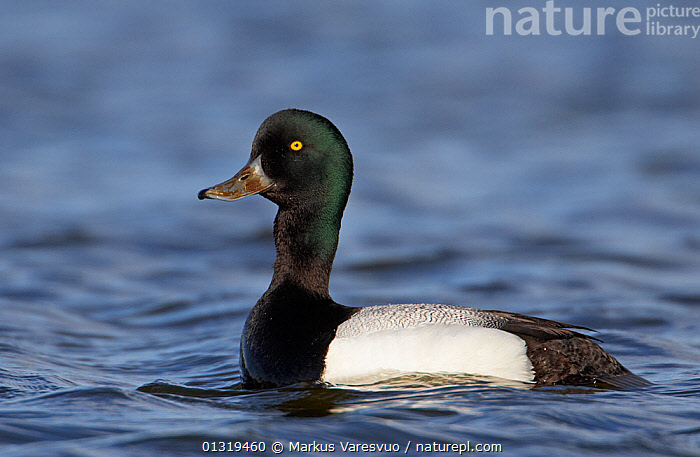 Male Greater scaup (Aythya marila) on water, Iceland, June  ,  ANATIDAE,BIRDS,DUCKS,EUROPE,ICELAND,MALE,PROFILE,VERTEBRATES,WATER,WATERFOWL,Wildfowl  ,  Markus Varesvuo