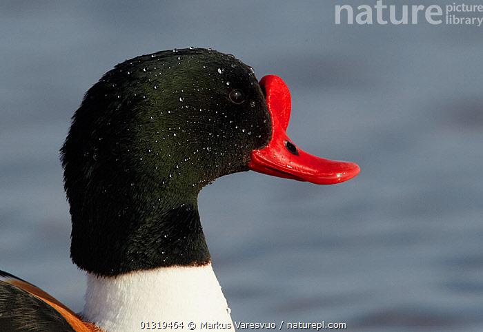 Male Shelduck (Tadorna tadorna) portrait, Finland, April  ,  BIRDS,DROPLETS,DUCKS,EUROPE,FINLAND,MALES,PORTRAITS,PROFILE,SCANDINAVIA,TADORNINAE,VERTEBRATES,WATER,WATERFOWL  ,  Markus Varesvuo