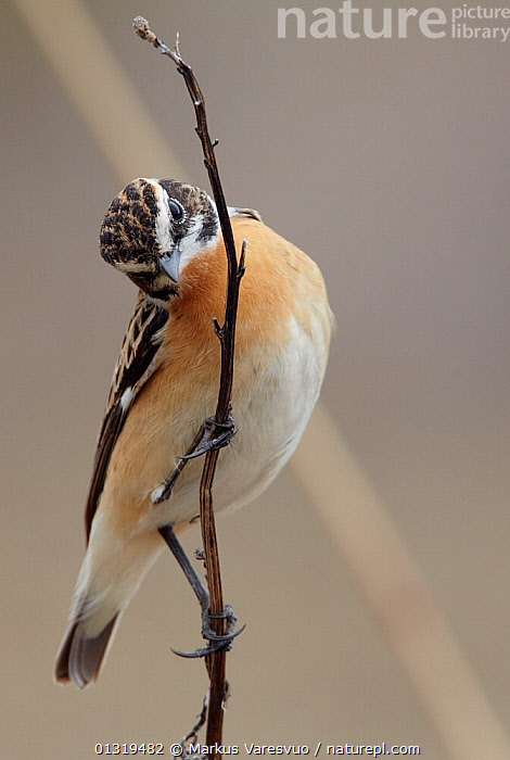 Whinchat (Saxicola rubetra) perched on dried plant stem, Finland, April  ,  BIRDS,CHATS,EUROPE,FINLAND,MUSCICAPIDAE,SCANDINAVIA,SONGBIRDS,VERTEBRATES,VERTICAL  ,  Markus Varesvuo