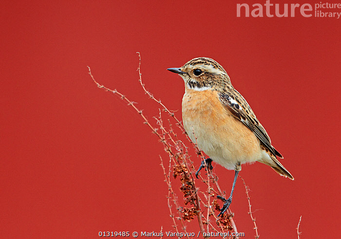 Whinchat (Saxicola rubetra) perched on dried Dock (Rumex sp) stems, Finland, May  ,  BIRDS,CHATS,DICOTYLEDONS,EUROPE,FINLAND,MUSCICAPIDAE,PLANTS,POLYGONACEAE,SCANDINAVIA,SEEDS,SONGBIRDS,VERTEBRATES  ,  Markus Varesvuo