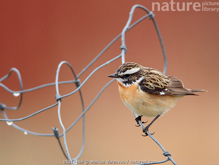 Whinchat (Saxicola rubetra) perched on wire, Finland, May  ,  BIRDS,CHATS,EUROPE,FINLAND,MUSCICAPIDAE,SCANDINAVIA,SONGBIRDS,VERTEBRATES  ,  Markus Varesvuo