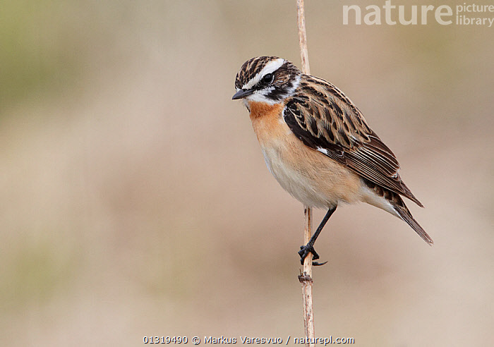 Whinchat (Saxicola rubetra) perched on stem, Finland, May  ,  BIRDS,CHATS,EUROPE,FINLAND,MUSCICAPIDAE,SCANDINAVIA,SONGBIRDS,VERTEBRATES  ,  Markus Varesvuo