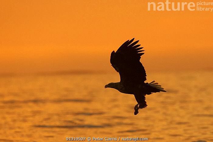 Silhouette of a White Tailed Sea Eagle (Haliaeetus albicilla) flying over water. Flatanger, Norway, July.  ,  ACCIPITRIDAE,BIRDS,BIRDS OF PREY,EAGLES,EUROPE,FLYING,NORWAY,ORANGE,PROFILE,SCANDINAVIA,SEA,SILHOUETTES,VERTEBRATES,WATER,Raptor  ,  Peter Cairns