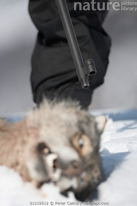 European Grey Wolf (Canis lupis) lying dead after being shot during a Norwegian government sanctioned wolf cull. Hedmark, Norway, April 2006.  ,  CANIDAE,CANIDS,CARNIVORES,CULLING,DEATH,EUROPE,GUNS,HUNTING,MAMMALS,NORWAY,PEOPLE,SCANDINAVIA,SNOW,VERTEBRATES,VERTICAL,WOLVES,Dogs  ,  Peter Cairns
