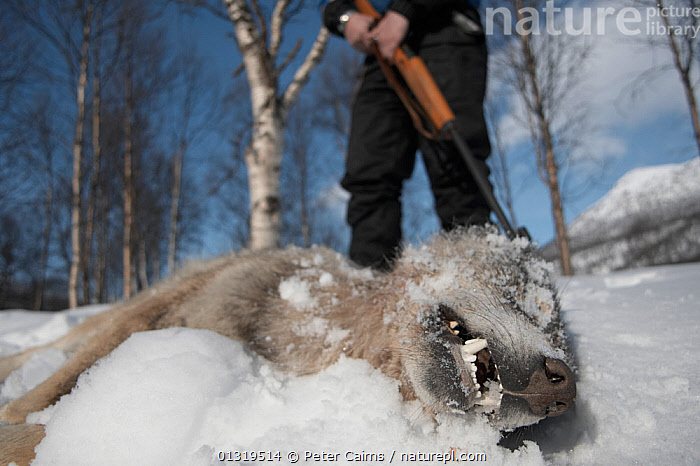 European Grey Wolf (Canis lupis) lying dead after being shot during a Norwegian government sanctioned wolf cull. Hedmark, Norway, April 2006.  ,  CANIDAE,CANIDS,CARNIVORES,CULLING,DEATH,EUROPE,GUNS,HUNTING,MAMMALS,NORWAY,PEOPLE,SCANDINAVIA,SNOW,VERTEBRATES,WOLVES,Dogs  ,  Peter Cairns