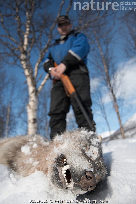 Hunter standing over dead European Grey Wolf (Canis lupis) killed during a Norwegian government sanctioned wolf cull. Hedmark, Norway, April 2006.  ,  CANIDAE,CANIDS,CARNIVORES,CULLING,DEATH,EUROPE,HUNTING,MAMMALS,NORWAY,PEOPLE,SCANDINAVIA,SNOW,VERTEBRATES,VERTICAL,WOLVES,Dogs  ,  Peter Cairns