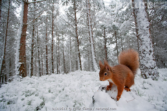 Red Squirrel (Sciurus vulgaris) in winter pine forest. Glenfeshie, Cairngorms, Scotland, February.  ,  CALEDONIA BOOK, EUROPE,FORESTS,MAMMALS,NP,RED,RESERVE,RODENTS,SCIURIDAE,SNOW,SQUIRRELS,UK,VERTEBRATES,WINTER,WOODLANDS,National Park,United Kingdom  ,  Peter Cairns
