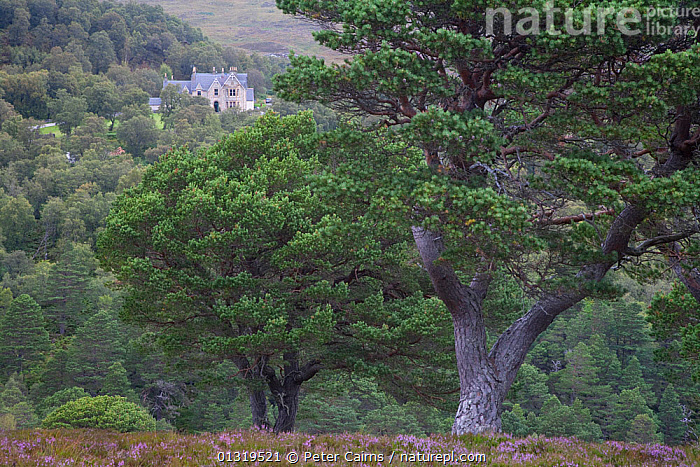 Alladale Lodge seen beyond Scots pine trees on Alladale Wilderness Reserve. Sutherland, Scotland, August 2007.  ,  BUILDINGS,EUROPE,FORESTS,LANDSCAPES,MOORLAND,RESERVE,SCOTLAND,TREES,UK,PLANTS,United Kingdom  ,  Peter Cairns