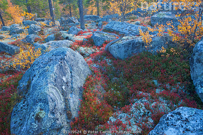 Rocks and ground cover in autumnal boreal forest. Rondane National Park, Norway, September 2007.  ,  AUTUMN,EUROPE,LANDSCAPES,NORWAY,PLANTS,ROCKS,SCANDINAVIA,TREES  ,  Peter Cairns