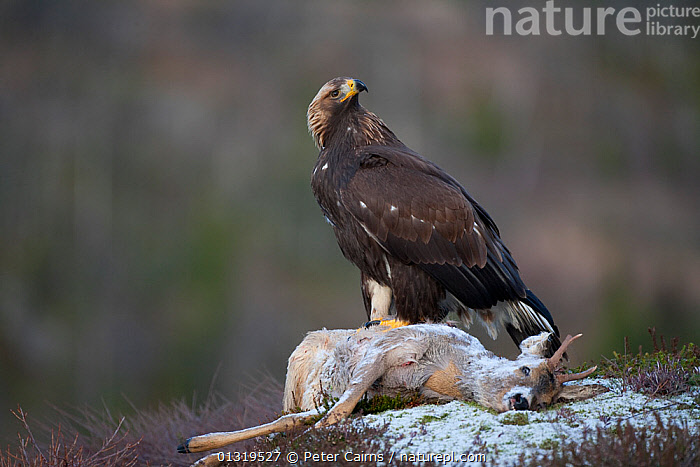 Golden Eagle (Aquila chrysaetos) sub-adult perched on dead deer. Captive. Flatanger, Norway, November.  ,  ACCIPITRIDAE,ARTIODACTYLA,BIRDS,BIRDS OF PREY,CERVIDS,DEATH,DEER,EAGLES,EUROPE,FEEDING,MAMMALS,MIXED SPECIES,NORWAY,SCANDINAVIA,SCAVENGING,SNOW,VERTEBRATES,Raptor  ,  Peter Cairns