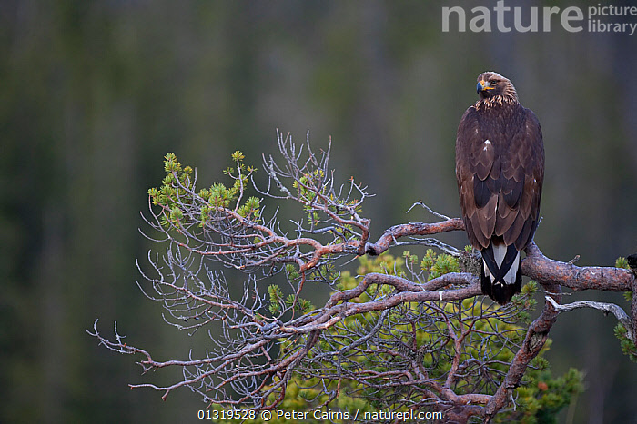 Golden Eagle (Aquila chrysaetos) sub-adult perched in pine tree. Captive. Flatanger, Norway, November.  ,  ACCIPITRIDAE,BIRDS,BIRDS OF PREY,EAGLES,EUROPE,NORWAY,PINES,SCANDINAVIA,VERTEBRATES,Raptor  ,  Peter Cairns