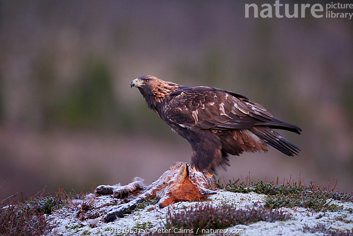Golden Eagle (Aquila chrysaetos) on a dead fox. Captive. Flatanger, Norway, November.  ,  ACCIPITRIDAE,BIRDS,BIRDS OF PREY,CANIDAE,CANIDS,CARNIVORES,DEATH,EAGLES,EUROPE,FEEDING,FOXES,MAMMALS,MIXED SPECIES,NORWAY,SCANDINAVIA,SCAVENGING,SNOW,VERTEBRATES,Raptor  ,  Peter Cairns