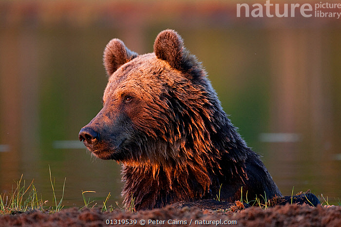 European Brown Bear (Ursus arctos) resting after swimming across lake. Martinselkonen, Suomassalmi, Finland, July.  ,  BEARS,CARNIVORES,EUROPE,FINLAND,HEADS,MAMMALS,PORTRAITS,SCANDINAVIA,URSIDAE,VERTEBRATES,WATER  ,  Peter Cairns