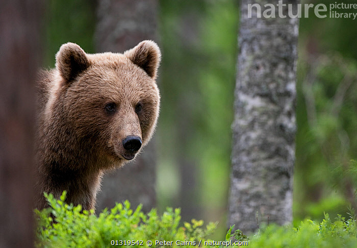 Young female European Brown Bear (Ursus arctos) in woodland. Martinselkonen, Suomassalmi, Finland, June.  ,  BEARS,CARNIVORES,EUROPE,FEMALES,FINLAND,FORESTS,HABITAT,HEADS,MAMMALS,PORTRAITS,SCANDINAVIA,URSIDAE,VERTEBRATES,WOODLANDS  ,  Peter Cairns
