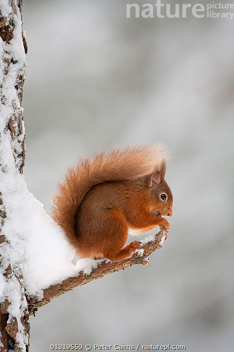 Red Squirrel (Sciurus vulgaris) eating while perched on twig in snow. Cairngorms National Park, Scotland.  ,  CUTE,EUROPE,FEEDING,MAMMALS,NP,RED,RESERVE,RODENTS,SCOTLAND,SNOW,SQUIRRELS,UK,VERTEBRATES,VERTICAL,National Park,United Kingdom  ,  Peter Cairns