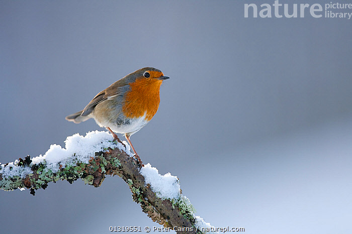 Robin (Erithacus rubecula) perched on snowy twig. Glenfeshie, Scotland, February.  ,  BIRDS,EUROPE,SCOTLAND,SNOW,SONGBIRDS,TURDIDAE,UK,VERTEBRATES,United Kingdom  ,  Peter Cairns