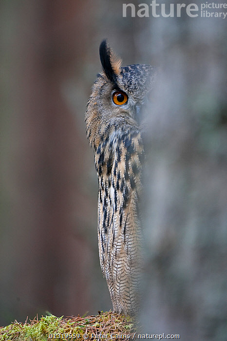 Eagle Owl (Bubo bubo) peering from behind a tree. Glenfeshie, Scotland, February.  ,  BIRDS,BIRDS OF PREY,EUROPE,EYES,HIDING,HUMOROUS,OWLS,PLUMAGE,SCOTLAND,TREES,UK,VERTEBRATES,VERTICAL,Concepts,PLANTS,United Kingdom,Raptor,Eagles  ,  Peter Cairns