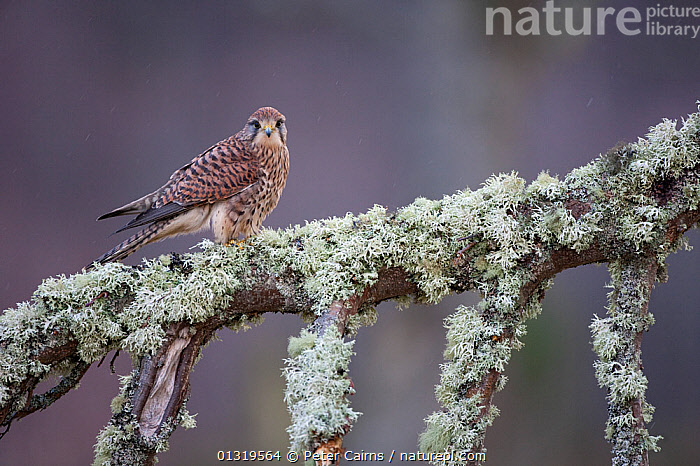 Kestrel (Falco tinnunculus) female perched on lichen covered tree. Captive. Glenfeshie, Scotland, March.  ,  BIRDS,BIRDS OF PREY,EUROPE,FALCONS,SCOTLAND,UK,VERTEBRATES,United Kingdom  ,  Peter Cairns