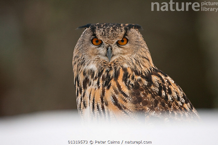 Portrait of a European Eagle Owl (Bubo bubo). Captive. Scotland, UK, February.  ,  BIRDS,BIRDS OF PREY,EUROPE,LOOKING AT CAMERA,OWLS,PLUMAGE,PORTRAITS,UK,VERTEBRATES,United Kingdom,Raptor,Eagles  ,  Peter Cairns