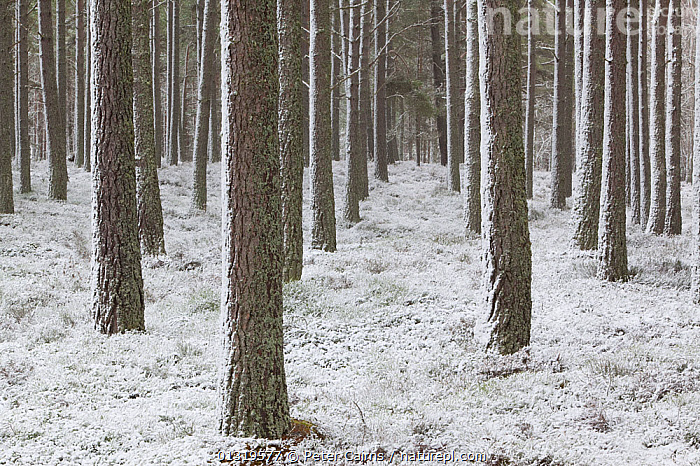 Snowbound winter pine forest. Cairngorms National Park, Scotland, March.  ,  BACKGROUNDS,EUROPE,FORESTS,NP,PLANTATIONS,RESERVE,SCOTLAND,SNOW,TREES,UK,WINTER,WOODLANDS,National Park,PLANTS,United Kingdom  ,  Peter Cairns
