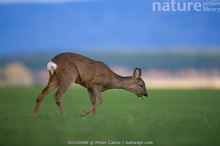 Roe Deer (Capreolus capreolus) female in field. Scotland, UK, April.  ,  ARTIODACTYLA,CERVIDS,DEER,EUROPE,MAMMALS,SCOTLAND,UK,VERTEBRATES,United Kingdom  ,  Peter Cairns