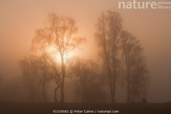 Silver birches silhouetted in misty light. Loch Insh, Cairngorms National Park, Scotland, April 2009.  ,  ARTY SHOTS,ATMOSPHERIC,EUROPE,MIST,SCOTLAND,SUNRISE,TREES,UK,PLANTS,United Kingdom  ,  Peter Cairns