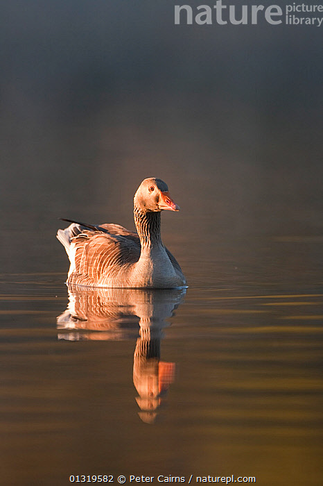 Greylag Goose (Anser anser) swimming on calm water. Glenfeshie, Scotland, May.  ,  BIRDS,EUROPE,GEESE,REFLECTIONS,SCOTLAND,UK,VERTEBRATES,VERTICAL,WATER,WATERFOWL,United Kingdom  ,  Peter Cairns