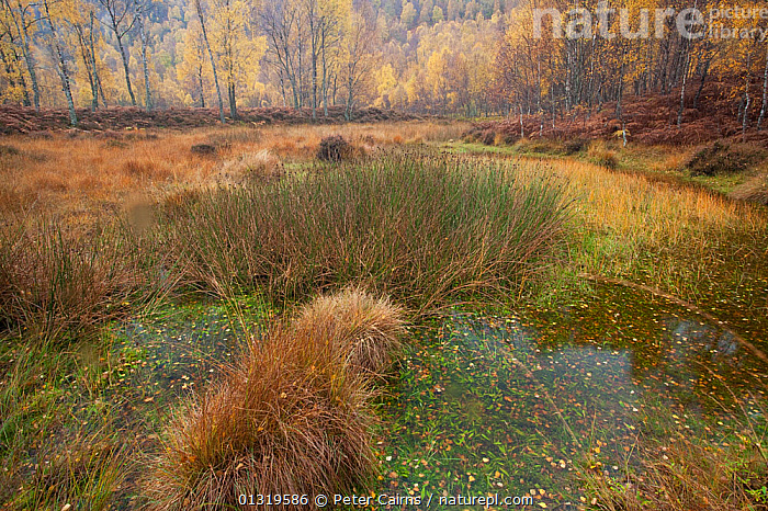 Bog grasses and autumn birches. Craigellachie National Nature Reserve, Scotland, October 2009.  ,  AUTUMN,BOGS,EUROPE,LANDSCAPES,MARSHES,NP,RESERVE,SCOTLAND,TREES,UK,WATER,Wetlands,National Park,PLANTS,United Kingdom  ,  Peter Cairns