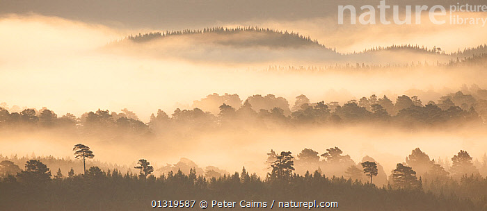 Native pine forest silhouetted in dawn mist. Scotland, UK, 2009.  ,  ATMOSPHERIC,BEAUTY,DAWN,EUROPE,FORESTS,GYMNOSPERMS,LANDSCAPES,MIST,SILHOUETTES,TREES,UK,WOODLANDS,PLANTS,United Kingdom  ,  Peter Cairns