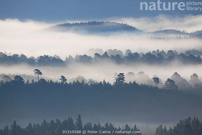 Native pine forest silhouetted in dawn mist. Scotland, UK, 2009.  ,  ATMOSPHERIC,BEAUTY,EUROPE,FORESTS,GYMNOSPERMS,LANDSCAPES,MIST,SCOTLAND,SILHOUETTES,UK,WOODLANDS,United Kingdom  ,  Peter Cairns