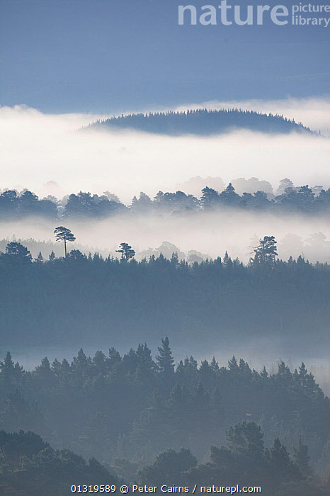 Native pine forest silhouetted at dawn. Scotland, August 2009.  ,  EUROPE,FORESTS,LANDSCAPES,MIST,SCOTLAND,SILHOUETTES,TREES,UK,VERTICAL,WOODLANDS,PLANTS,United Kingdom  ,  Peter Cairns