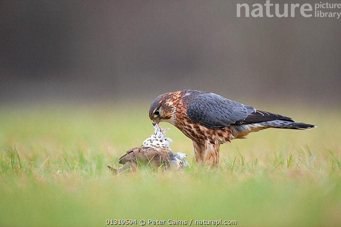 Merlin (Falco columbarius) feeding on a thrush (roadkill). Captive. Scotland, February.  ,  BEHAVIOUR,BIRDS,BIRDS OF PREY,EUROPE,FALCONS,FEATHERS,FEEDING,PLUMAGE,PREDATION,SCAVENGING,SCOTLAND,THRUSHES,UK,VERTEBRATES,United Kingdom  ,  Peter Cairns