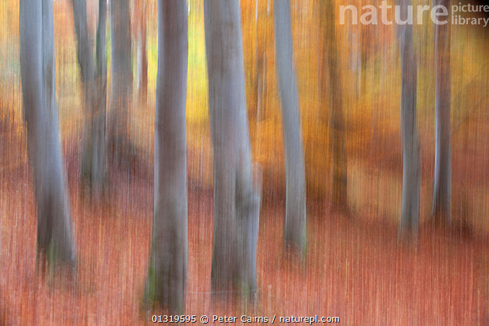 Abstract of beech woodland in autumn. Cairngorms National Park, Scotland, October.  ,  ABSTRACT,AUTUMN,EUROPE,FORESTS,NP,RESERVE,TREES,UK,WOODLANDS,National Park,PLANTS,United Kingdom  ,  Peter Cairns