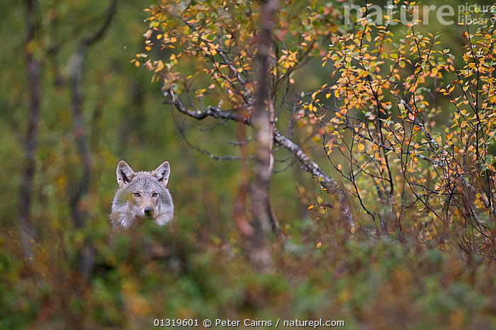 Domesticated European Grey Wolf (Canis lupis) in autumnal boreal forest. Norway, September.  ,  AUTUMN,CANIDS,CARNIVORES,EUROPE,FORESTS,HABITAT,MAMMALS,NORWAY,SCANDINAVIA,VERTEBRATES,WOLVES,WOODLANDS,Dogs  ,  Peter Cairns