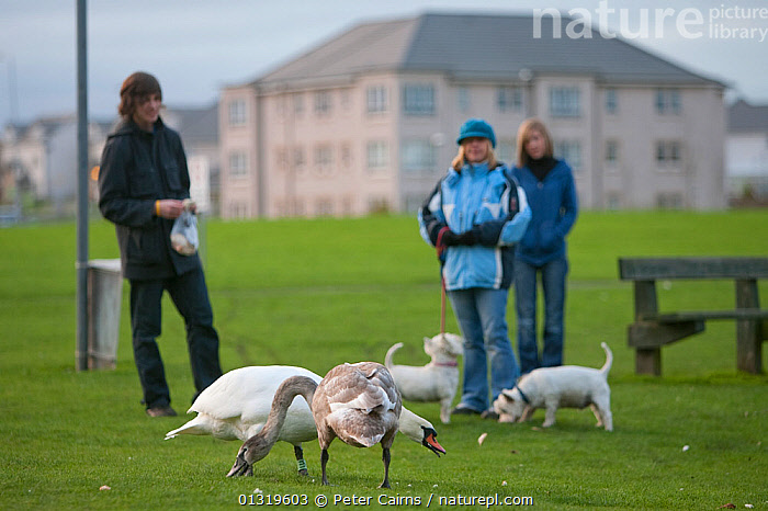 A man feeds Mute Swans (Cygnus olor) - a juvenile with drab plumage and an adult -  while people walk their west highland terriers. Fife, Scotland, November.  ,  BIRDS,DOGS,DOMESTIC DOG,EUROPE,FEEDING,OUTDOORS,PAIR,PARKS,PEOPLE,SCOTLAND,SWANS,TOWNS,UK,URBAN,VERTEBRATES,WATERFOWL,United Kingdom,Wildfowl  ,  Peter Cairns