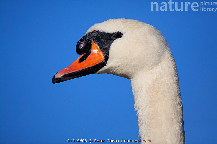 Portrait of an adult Mute Swan (Cygnus olor). Fife, Scotland, November.  ,  BEAKS,BIRDS,EUROPE,HEADS,LOW ANGLE SHOT,PORTRAITS,SCOTLAND,SWANS,UK,VERTEBRATES,WATERFOWL,United Kingdom,Wildfowl  ,  Peter Cairns