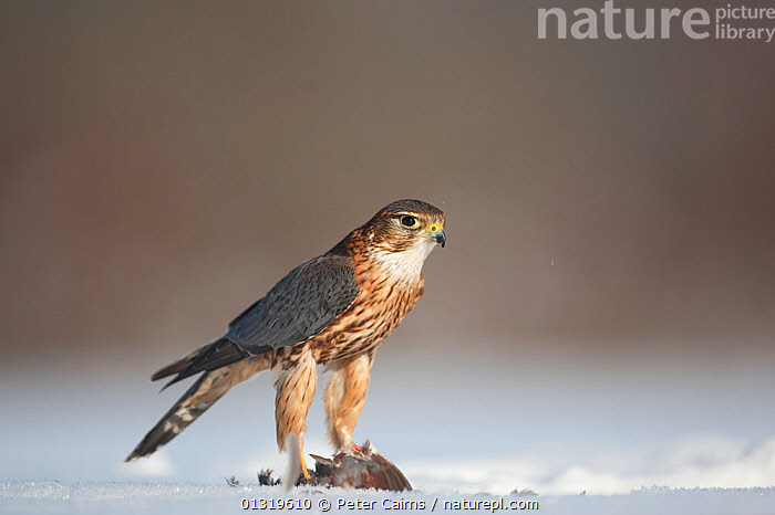 Merlin (Falco columbarious) male with prey in snow. Scotland, February.  ,  BIRDS,BIRDS OF PREY,EUROPE,FALCONS,MALES,PREDATION,PREY,SCOTLAND,SNOW,UK,VERTEBRATES,Behaviour,United Kingdom  ,  Peter Cairns
