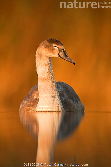 Mute Swan (Cygnus olor) cygnet on water. Fife, Scotland, November.  ,  BIRDS,CHICKS,EUROPE,JUVENILE,PORTRAITS,REFLECTIONS,SCOTLAND,SWANS,UK,VERTEBRATES,VERTICAL,WATERFOWL,United Kingdom,Wildfowl  ,  Peter Cairns