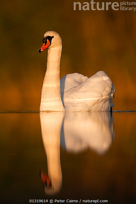 Mute Swan (Cygnus olor) adult on water. Fife, Scotland, November.  ,  ARTY SHOTS,BIRDS,EUROPE,LOW ANGLE SHOT,PORTRAITS,REFLECTIONS,SCOTLAND,SWANS,UK,VERTEBRATES,VERTICAL,WATER,WATERFOWL,United Kingdom,Wildfowl  ,  Peter Cairns
