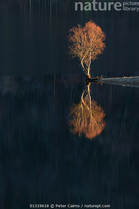 Silver Birch (Betula verrucosa) reflected in Loch Beinn a' Mheadhoin. Glen Affric National Nature Reserve, Scotland, December.  ,  ARTY SHOTS,bare tree,BETULACEAE,BLACK,CALM,catalogue3,copyspace,December,DICOTYLEDONS,EUROPE,Glen Affric ,HIGHLANDS,isolated,Lake,LAKES,Loch Beinn a Mheadhoin,National Nature Reserve,nature,nature reserve,negative space,Nobody,NP,one object,orange colour,outdoors,PLANTS,REFLECTIONS,remote,RESERVE,SCOTLAND,Silence,tranquil scene,TREES,UK,VERTICAL,WATER,WINTER,National Park,United Kingdom  ,  Peter Cairns