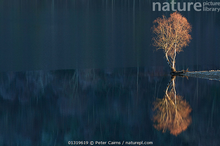 Silver Birch (Betula verrucosa) reflected in Loch Beinn a' Mheadhoin. Glen Affric National Nature Reserve, Scotland, December.  ,  ABSTRACT,ATMOSPHERIC,BETULACEAE,CALM,catalogue4,DICOTYLEDONS,EUROPE,Glen Affric ,HIGHLANDS,independence,Lake,lakeside,Loch Beinn a Mheadhoin,nature,nature reserve,negative space,Nobody,NP,PLANTS,reflection,REFLECTIONS,remote,RESERVE,SCOTLAND,TREES,UK,WATER,water surface,WINTER,National Park,United Kingdom  ,  Peter Cairns