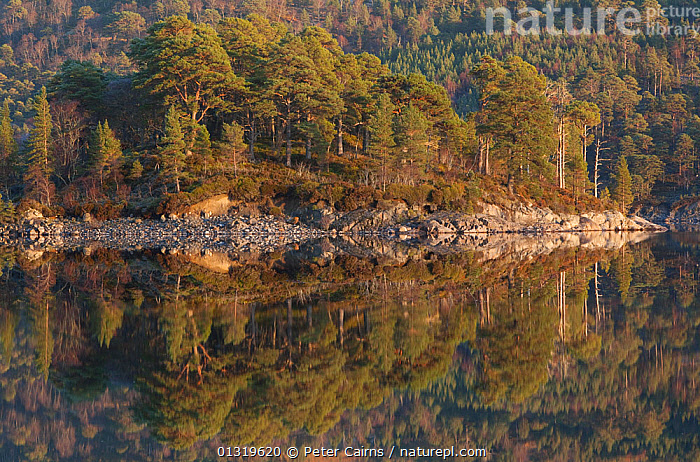 Lakeside woodlands reflected in Loch Beinn a' Mheadhoin, Glen Affric National Nature Reserve, Scotland, UK, December 2009.  ,  ARTY SHOTS,ATMOSPHERIC,CALM,EUROPE,FORESTS,LANDSCAPES,PEACEFUL,REFLECTIONS,RESERVE,SCOTLAND,TREES,UK,WATER,WOODLANDS,PLANTS,United Kingdom  ,  Peter Cairns