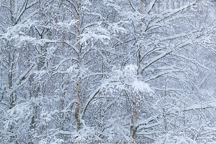 Snow-covered Birch (Bettula verrucosa) forest in winter. Glenfeshie, Scotland, December.  ,  BACKGROUNDS,BETULACEAE,COLD,DICOTYLEDONS,EUROPE,FORESTS,FROST,PLANTS,SCOTLAND,SNOW,TREES,UK,WHITE,WINTER,WOODLANDS,Weather,United Kingdom  ,  Peter Cairns