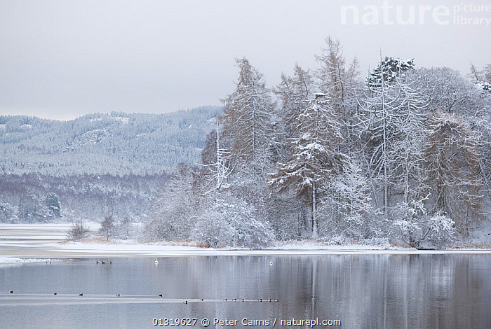 Waterfowl on Loch Insh in winter. Scotland, December 2009.  ,  BIRDS,COLD,EUROPE,FORESTS,HIGHLANDS,ICE,LAKES,LANDSCAPES,SCOTLAND,SNOW,UK,WATER,WATERFOWL,WINTER,WOODLANDS,United Kingdom  ,  Peter Cairns