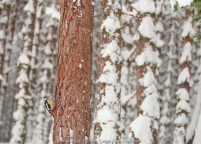 Great-Spotted Woodpecker (Dendrocopus major) in winter pine forest. Cairngorms National Park, Scotland, January.  ,  BIRDS,EUROPE,FORESTS,NP,RESERVE,SCOTLAND,SNOW,TREES,UK,VERTEBRATES,WINTER,WOODLANDS,WOODPECKERS,National Park,PLANTS,United Kingdom  ,  Peter Cairns