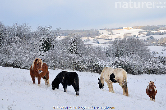 Shetland ponies (Equus caballus) grazing in snow covered pasture, near Box, Wiltshire, UK, December 2010  ,  COLD,ENGLAND,EUROPE,FEEDING,FORAGING,FROST,FROZEN,GROUPS,HORSES,ICE,LANDSCAPES,LIVESTOCK,MAMMALS,PERISSODACTYLA,PETS,PONIES,SNOW,TREES,UK,VERTEBRATES,WINTER,Weather,Plants,United Kingdom,Equines  ,  Nick Upton