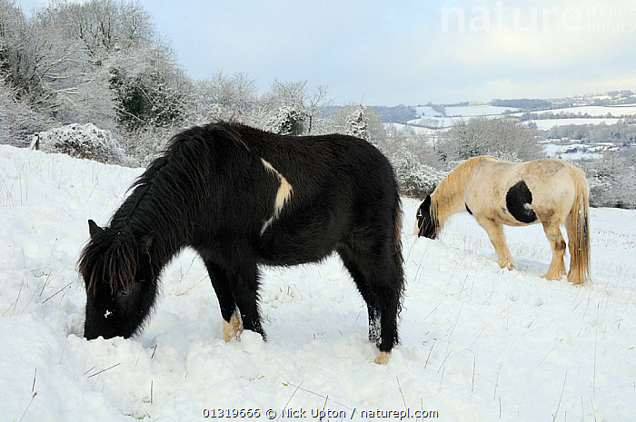 Two shetland ponies (Equus caballus) grazing in snow covered pasture, Wiltshire, UK, December 2010  ,  COLD,ENGLAND,EUROPE,FEEDING,FORAGING,FROST,FROZEN,GROUPS,HORSES,ICE,LANDSCAPES,LIVESTOCK,MAMMALS,PERISSODACTYLA,PETS,PONIES,SNOW,TREES,UK,VERTEBRATES,WINTER,Weather,Plants,United Kingdom,Equines  ,  Nick Upton