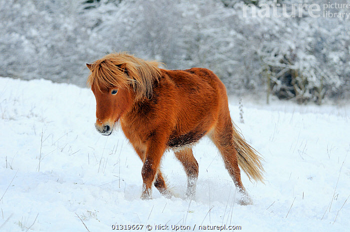 Shetland pony (Equus caballus) walking in snow covered pasture, Wiltshire, UK, December 2010  ,  COLD,ENGLAND,EUROPE,FROST,FROZEN,HORSES,ICE,LANDSCAPES,LIVESTOCK,MAMMALS,PERISSODACTYLA,PETS,PONIES,SNOW,TREES,UK,VERTEBRATES,WALKING,WINTER,Weather,Plants,United Kingdom,Equines  ,  Nick Upton