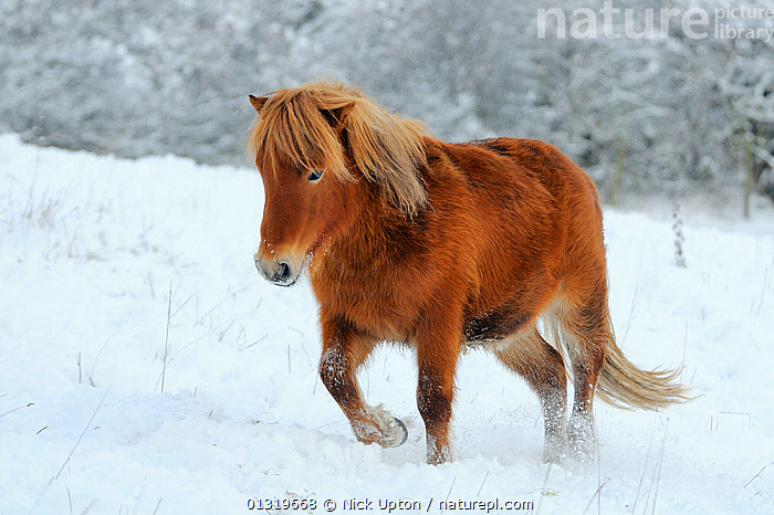 Shetland pony (Equus caballus) walking through snow covered pasture, Wiltshire, UK, December 2010  ,  COLD,ENGLAND,EUROPE,FROST,FROZEN,HORSES,LANDSCAPES,LIVESTOCK,MAMMALS,PERISSODACTYLA,PETS,PONIES,SNOW,TREES,UK,VERTEBRATES,WALKING,WINTER,WINTERY,Weather,Plants,United Kingdom,Equines  ,  Nick Upton