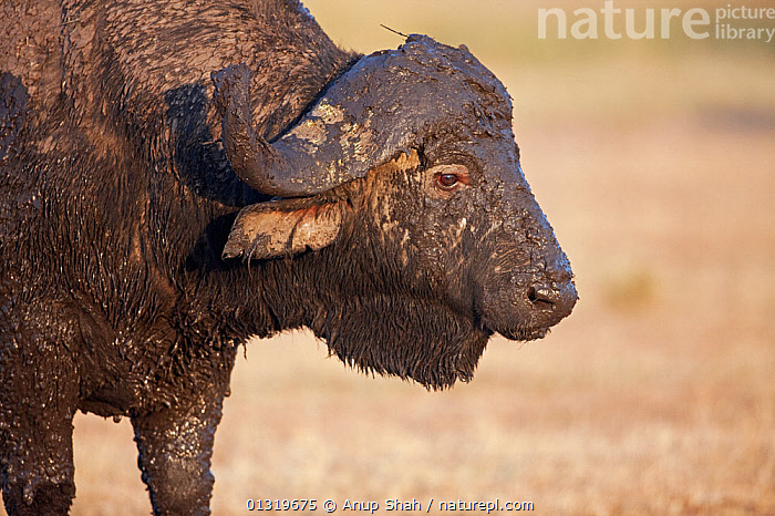 Cape or African Buffalo male (Syncerus caffer) covered in mud - side profile. Masai Mara National Reserve, Kenya, August 2009  ,  ARTIODACTYLA,BOVIDS,BUFFALOS,EAST AFRICA,HEADS,HORNS,MALES,MAMMALS,MUDDY,PORTRAITS,PROFILE,VERTEBRATES,Cattle,,messy,  ,  Anup Shah